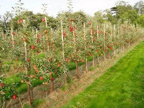 Young Braeburn Orchard